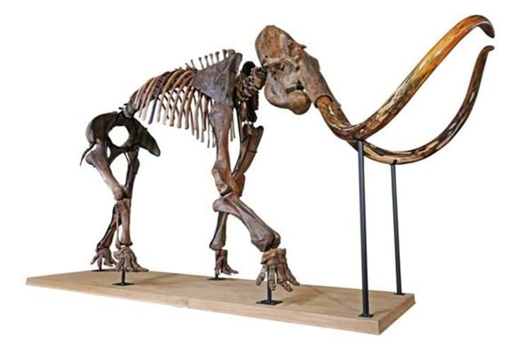 Mammoth skeleton sold at auction