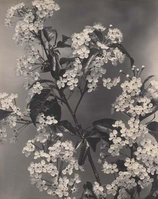 Edwin Hale Lincoln - Wild Red Cherry.jpg