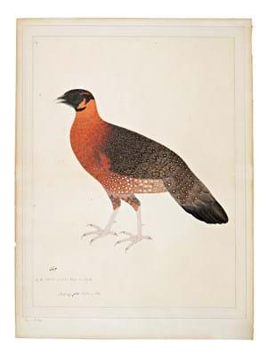 Crimson Horned Pheasant (Tragopan Satyra)