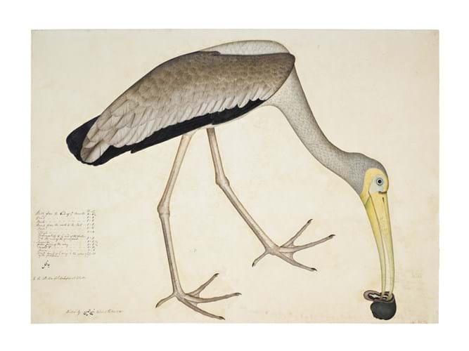 Stork eating a snail