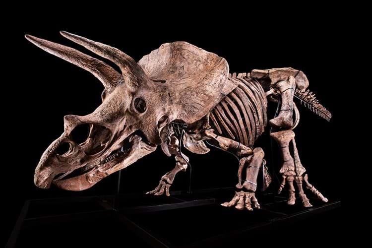 Triceratops dinosaur skeleton