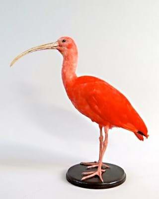 Scarlet ibis stolen in taxidermy raid